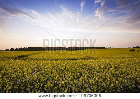 Rape field .  sunset
