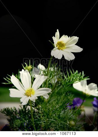 White Cosmo  Flowers