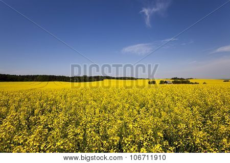 canola field .  blooming