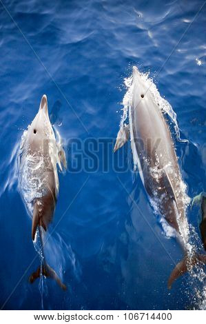 Two Dolphins From Above