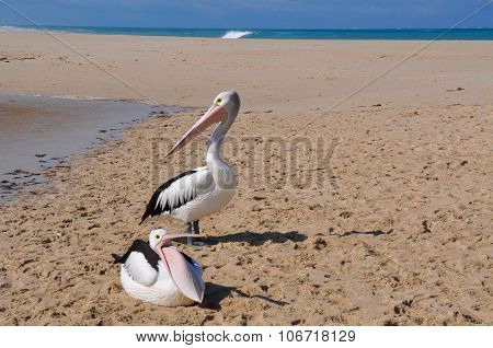 Pelicans, Moore River Mouth, Western Australia