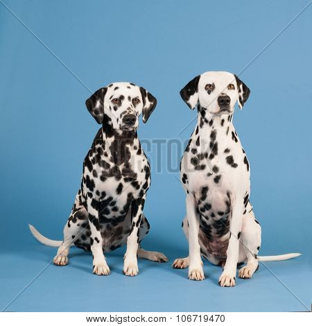 Pure breed Dalmatian dogs sitting in studio on blue background