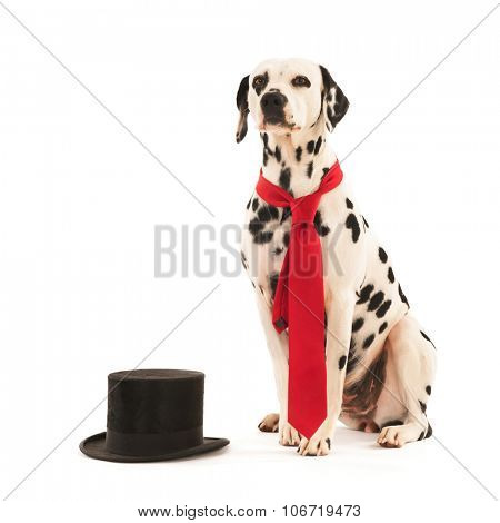 Dalmatian dog as groom for the wedding isolated over white background