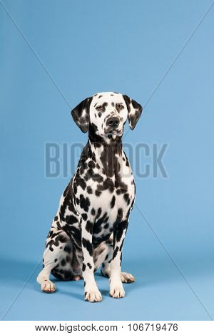 Pure breed Dalmatian dog sitting in studio on blue background