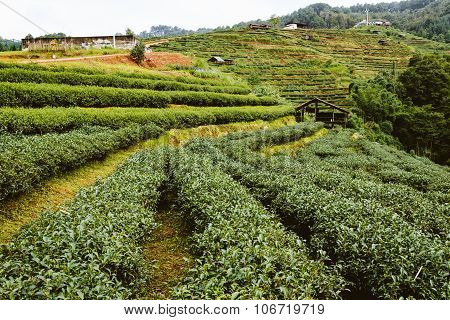 Green Tea Farm In Thailand