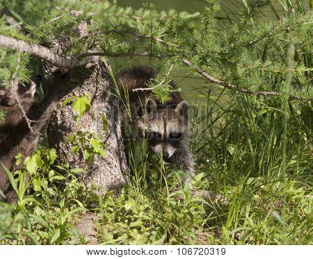 Young Raccoon Exploring