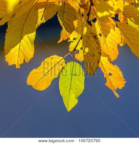 cherry  trees crowns with yellow and green foliage in Indian summer
