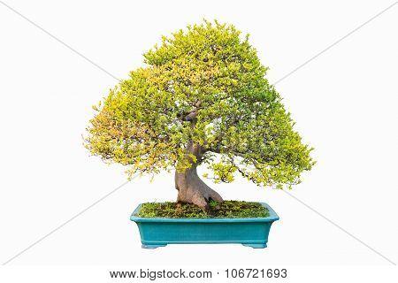 Elm Bonsai In Autumn
