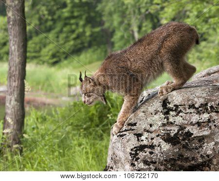 Lynx Jumping Off Rock