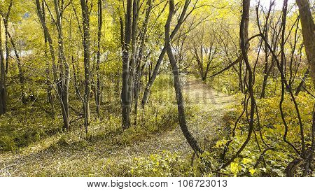 Two Tone Color. Grove of Locust Trees. A Trail.