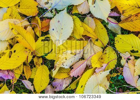 Cherry Tree Leaves At The Grass In Harmonic Autumn Colors