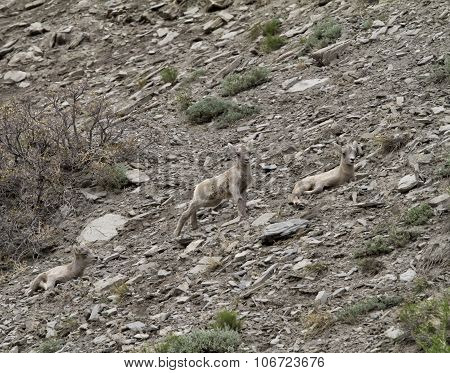 Two Bighorn Babies