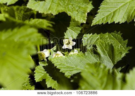 blooming black currant