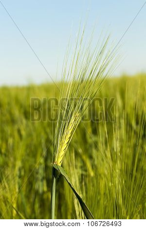 immature cereals.  field
