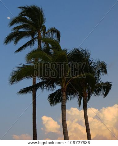 Palm trees and moon in the sky in the evening in Hawaii in the USA