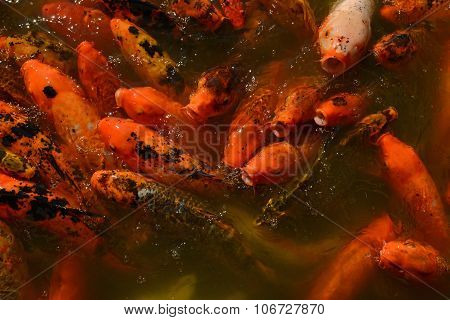 Koi Fish In A Zen Pond For Tranquil Outdoor Scene