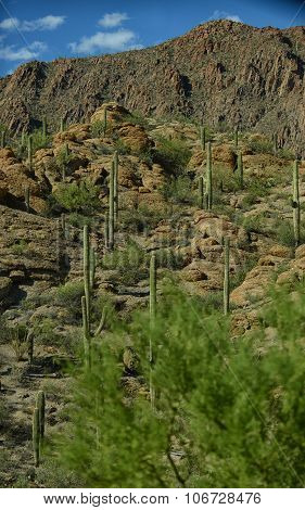 Beautiful Mountain Desert Scene With Saguaro Cacti