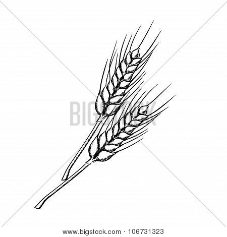 Sketch of wheat with ripe grains