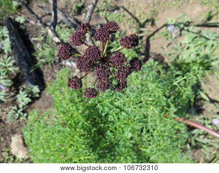 Fern-leafed Desert Parsley - Lomatium dissectum