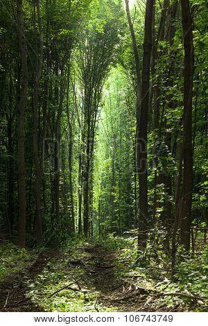 Path Trough Woods