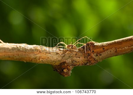 Daddy Long Legs Hidden On Tree Branch