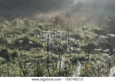 Misty Morning Cobweb