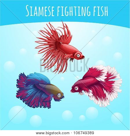 Three siamese fighting fish on a blue background
