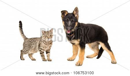 German Shepherd puppy and cat Scottish Straight standing together