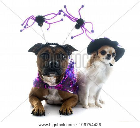 Dressed Staffordshire Bull Terrier And Chihuahua