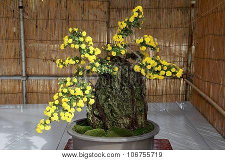 bonsai of chrysanthemum flowers