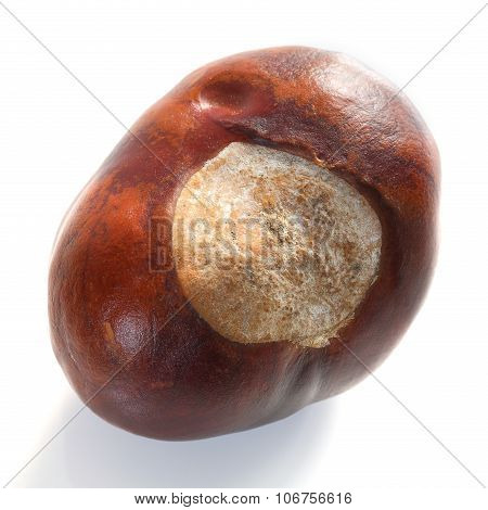 Isolated Chestnut