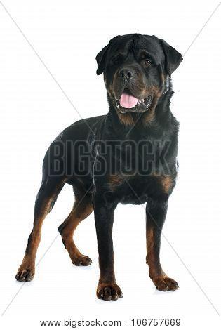 Purebred Adult Rottweiler