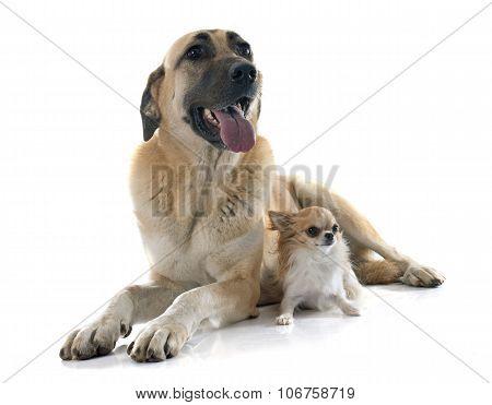 Anatolian Shepherd Dog And Chihuahua