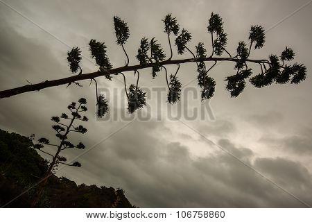 Agave blossom against dramatic cloudy sky