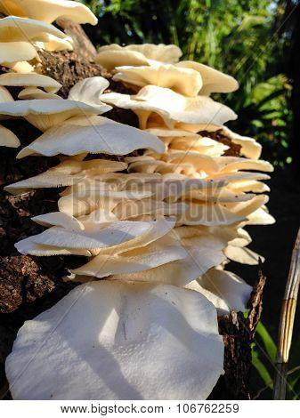 Mushroom On Mango Tree