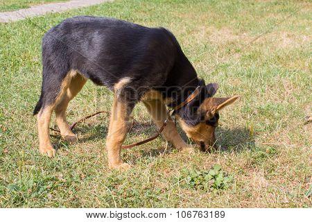 German shepherd dog sniffs