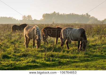 Icelandic Horses Grazing In Late Afternoon Sunlight