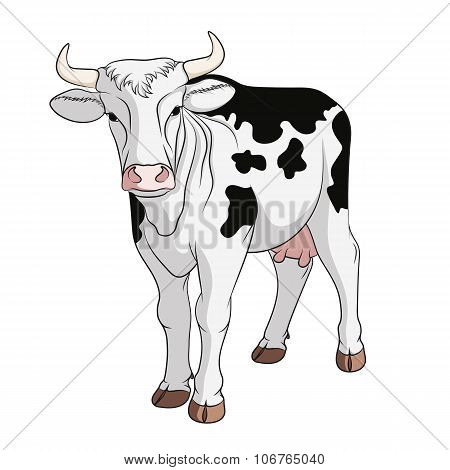 Colored vector cow. Isolated on white background