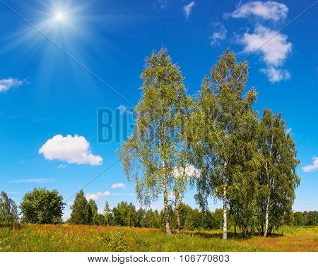 Birches And Sunshine Sky