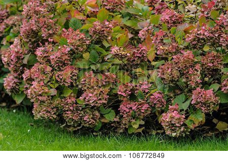 Hortensia Bush Pink Flowers Close-up In Autumn