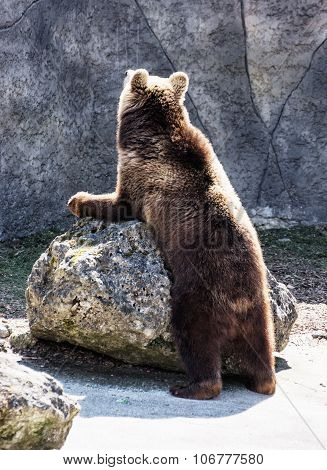 Brown Bear (ursus Arctos Arctos), Humorous Animal Scene