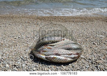 Fishing corf on with catch of Baikal grayling on the shore near the water