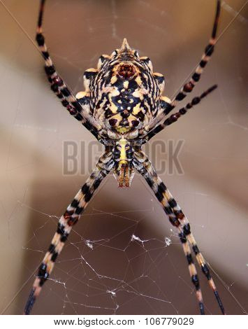 Great argiope spider