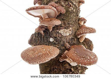 Tree Trunk With Shiitake Mushrooms