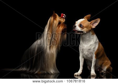 Yorkshire Terrier Dog With Chihuahua Sits On Black