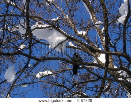 Winters Crow