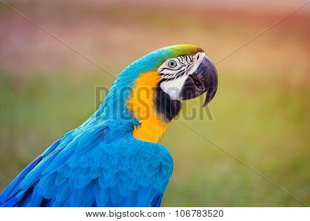 A Beautiful Parrot With Bright Blue Plumage On The Background Lawn.