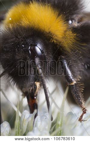 Bumble Bee Extrem Close Up
