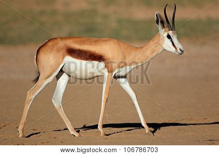 A female springbok antelope (Antidorcas marsupialis), Kalahari desert, South Africa