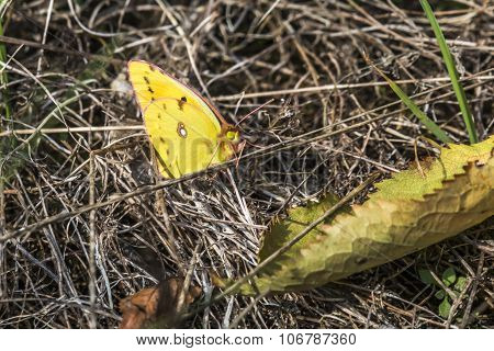 Pale cloude yellow (colias Hyale)